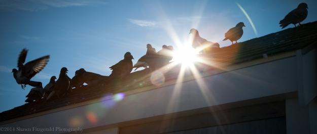 Pigeons122614-1